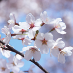 春を味わう、特別メニューのご案内