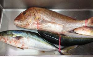 小呂島で釣られた真鯛とブリとイトヨリ