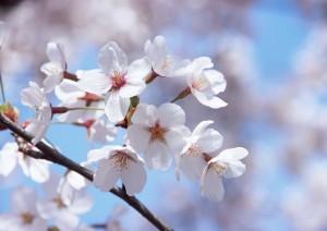 シェ・ヒグチの花見
